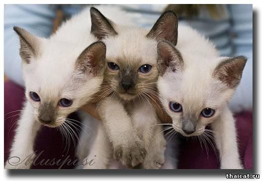 тайские котята разных окрасов