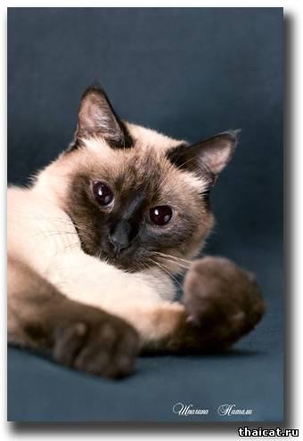 тайская кошка окраса сил-пойнт