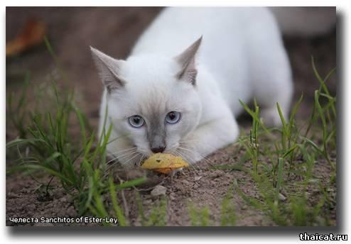 тайская кошка окраса лайлак-пойнт