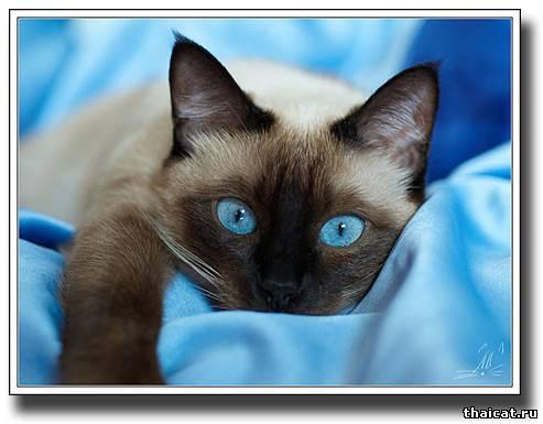 Кошки 2009 культура тайские кошки