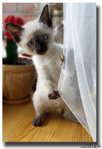тайские котята фото.
