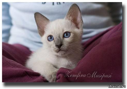 тайский котенок окраса блю-пойнт