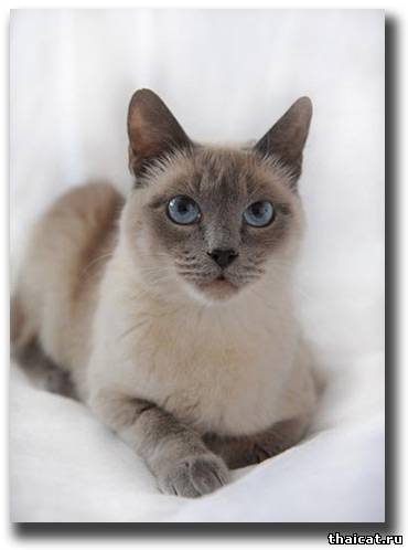 тайская кошка блю пойнт фото