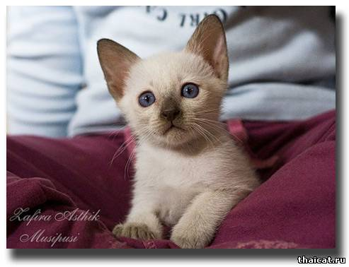 тайский котенок окраса шоколад-пойнт