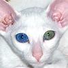 Цвет глаз сиамских и ориентальных кошек
