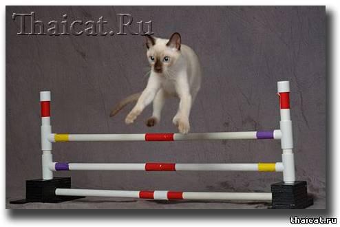 Дрессировка тайских и сиамских кошек
