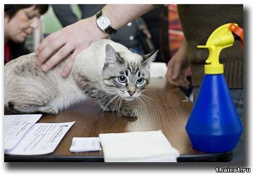 тайский кот окраса сил-тебби-пойнт