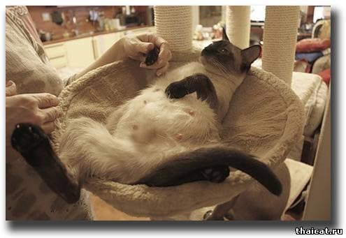 Кошка за сутки до родов