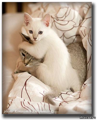 Тайский котенок с мамой кошкой