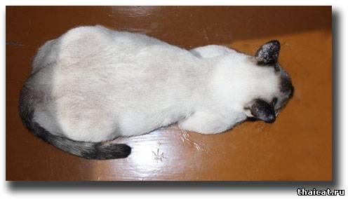 Сколько беременность кошек