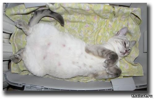 Правила вакцинации кошек и котят - Питомник Канадских ...