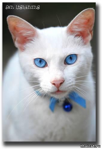 Породы кошек с голубыми глазами (19 фото)