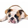 Остеоартроз у собак: лечение