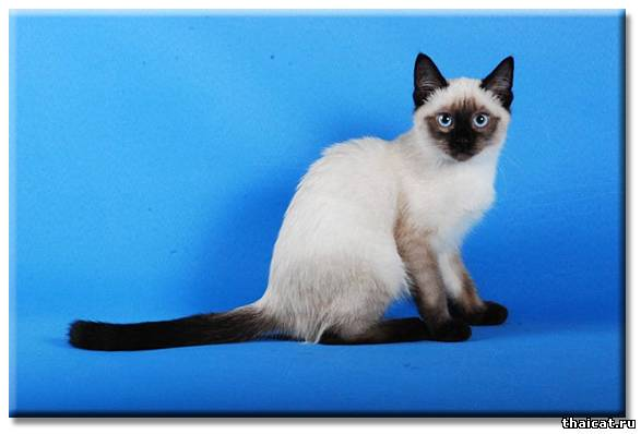 О породе тайские кошки и котята клуб