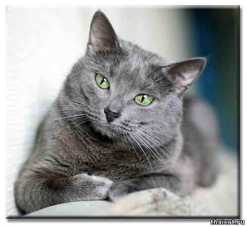 ТОП-10 популярных пород кошек в США. Русская голубая