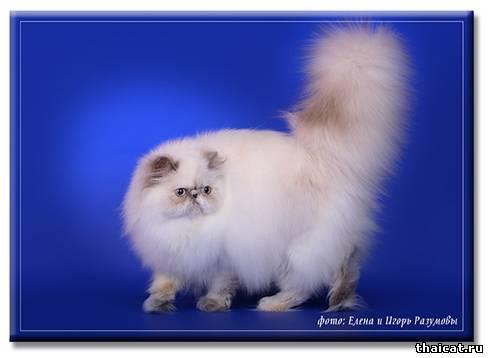 ТОП-10 популярных пород кошек в США. Гималайская