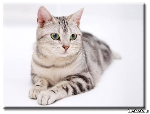 ТОП-10 популярных пород кошек в США. Американская короткошерстная
