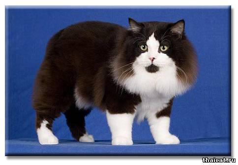 ТОП-10 популярных пород кошек в США. Мэнкс