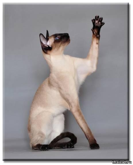ТОП-10 популярных пород кошек в США. Сиамская