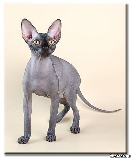 ТОП-10 популярных пород кошек в США. Сфинкс