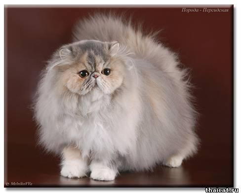 ТОП-10 популярных пород кошек в США. Персидская