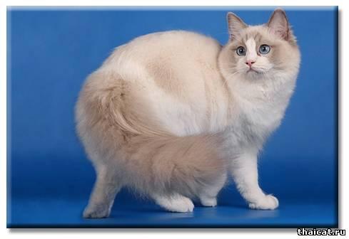 ТОП-10 популярных пород кошек в США. Рэгдолл