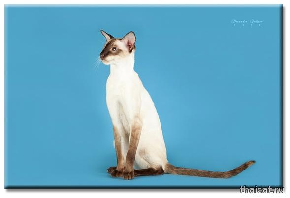 Сиамские кошки. Взгляд на породу