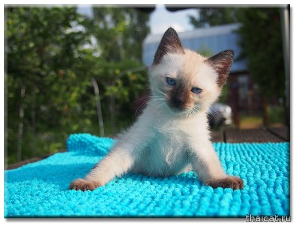 Тайский котенок из питомника Catus Vivendi