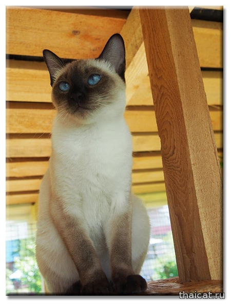 Тайская кошка Ch. Farus, Ava Gardner La Cosa Nostra, питомник Catus Vivendi