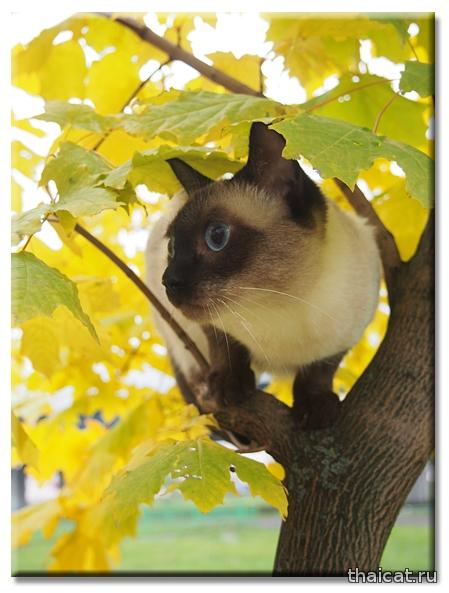 Тайская кошка, питомник Catus Vivendi