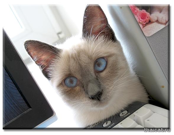 Тайская кошка Дафна, блю-пойнт. Daphne Thai Cat Club. Клуб Тайских Кошек