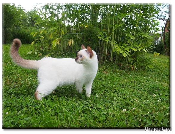 Тайская кошка Ch. Farus, Ch. TICA Germiona Thai Riddle, питомник Catus Vivendi