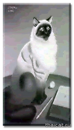 Фусса Итайя. Портрет кошки / Foussa Itaya. Portrait of a Cat