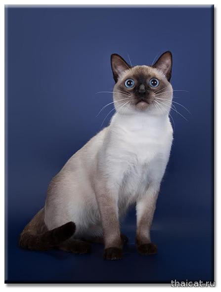 кот тайской породы Gr.Int.Ch. WCF, CH TICA, CH ICU, Int.Ch. Farus Anaces Aeternus Catus Vivendi