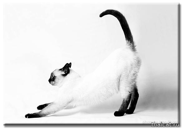 Тайская кошка WCh WCF master Zhee Dju Musipusi, Питомник Catus Vivendi