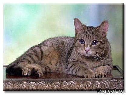 Алтайская голубоглазая кошка