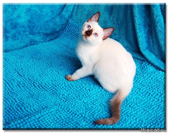 Тайская кошка Кlitti Thai Riddle, питомник Catus Vivendi