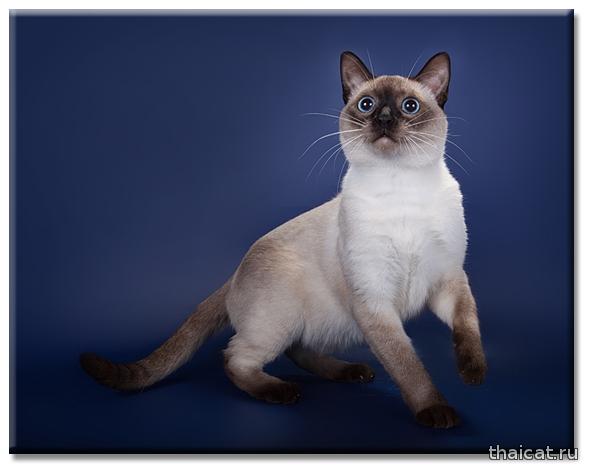 Питомник тайских и ориентальных кошек Catus Vivendi