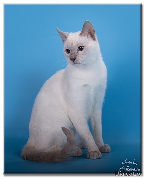 Тайская кошка Beatitas Bacula Catus Vivendi, питомник Catus Vivendi