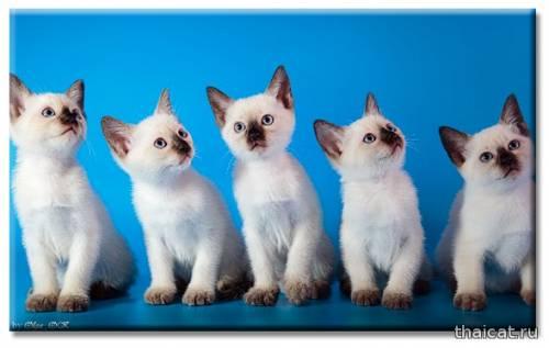 Тайские кошки. Южный Сахалин