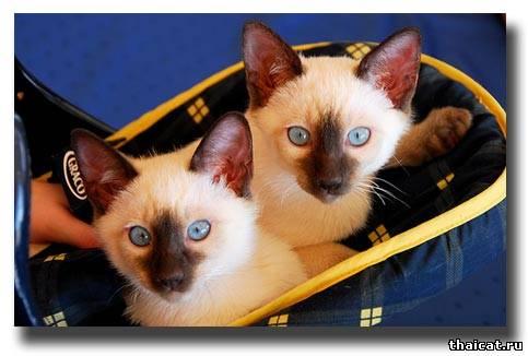 тайские котята окраса шоколад-пойнт