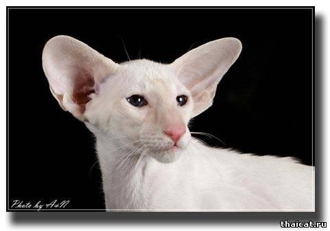 сиамский кот, окрас ред-тэбби-пойнт
