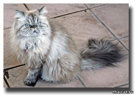 гималайская кошка окраса сил-линкс-пойнт