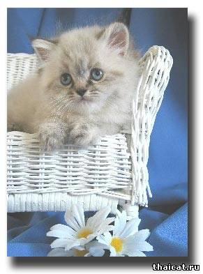 гималайский котенок окраса блю-линкс-пойнт