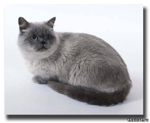 Окрас колор-пойнт у британских кошек | Колор пойнт ...: http://www.thaicat.ru/publ/21-1-0-238