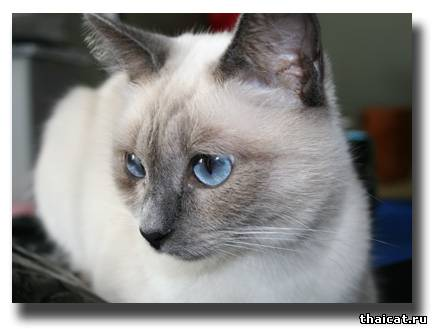 Дафна, тайская кошка
