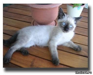 старотипная сиамская кошка