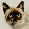 Некоторые моменты истории кошек-колорпойнтов в России