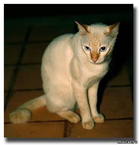 сиамские кошки в Тайланде