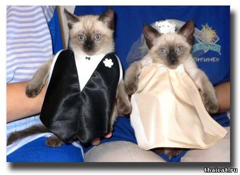 Кошачья свадьба по-тайски